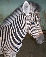 В казанском зооботсаду пройдет праздник «Именины зебренка»