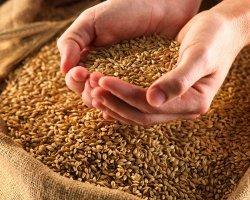 Зерновой старт