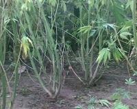 Во дворе жителя Калачевского района нашли плантацию конопли