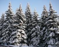 Волгоградские леса охраняют от вырубки елок