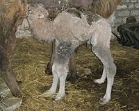 Жители региона выбирают имя для иловлинского верблюжонка