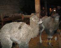 В Волгоградской области появился на свет еще один верблюжонок