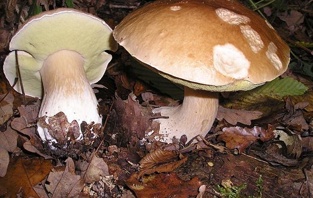 Разбираемся в съедобных грибах