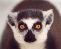 В Пермском зоопарке новорожденный – крошка-лемур