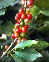 В ботаническом саду снимают урожай кофе