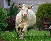 В Красновишерске отловят всех бездомных коров и собак