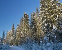 Елки в лесах и парках Перми обработают одорирующим составом