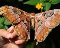 В Перми появилась на свет самая большая в мире бабочка