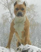 Подозреваемый спустил бойцового пса на оперативников УВД