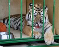 Тигр Жорик, ставший талисманом Евро-2012, перенес очередную операцию