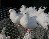 Россельхознадзор не пустил на Южный Урал голубей из Таджикистана